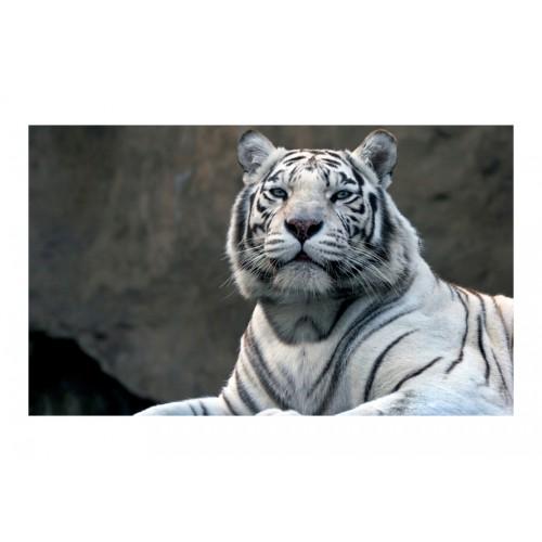 Fotomurale - Tigre del Bengala nello zoo - Quadri e decorazioni