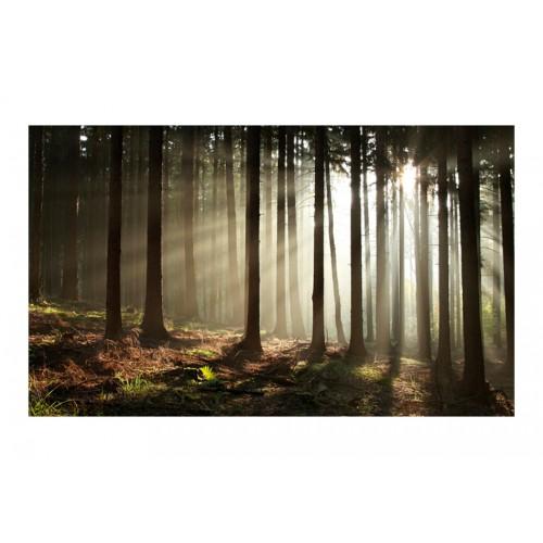 Fotomurale - Foresta di conifere al mattino - Quadri e decorazioni