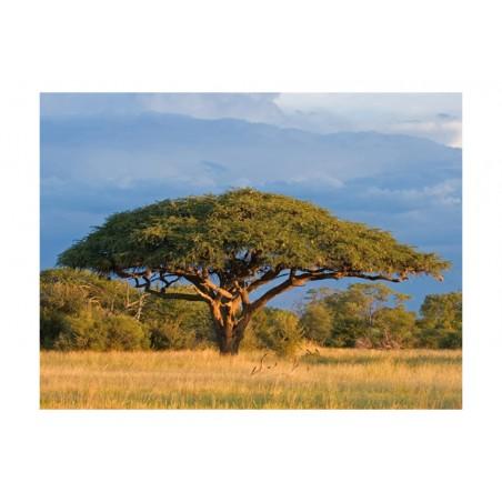 Fotomurale - Acacia africana - Parco Nazionale Hwange, Zimbabwe - Quadri e decorazioni