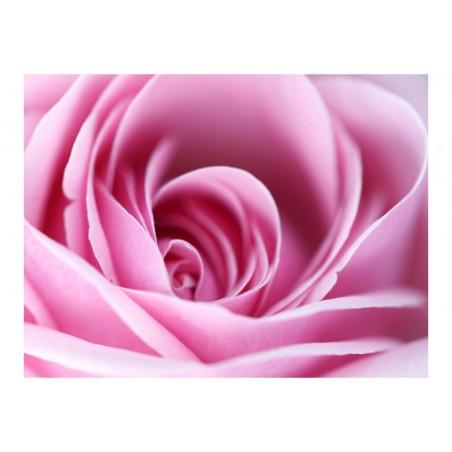 Fotomurale - Una rosa, rosa - Quadri e decorazioni