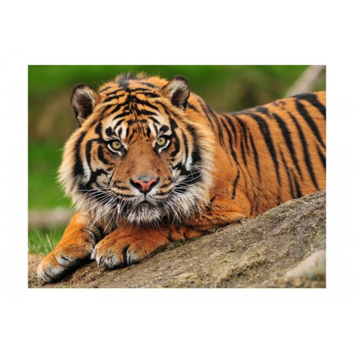 Fotomurale - Tigre di Sumatra - Quadri e decorazioni
