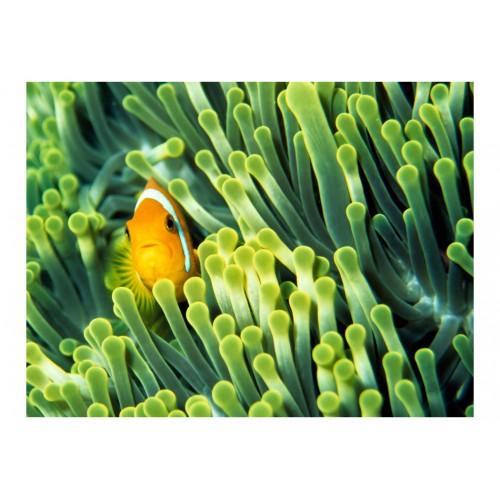 Fotomurale - Anemonefish - Quadri e decorazioni