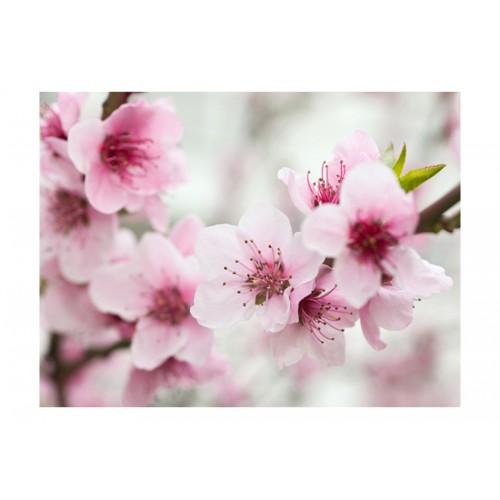 Fotomurale - Ciliegio in fiore - Quadri e decorazioni