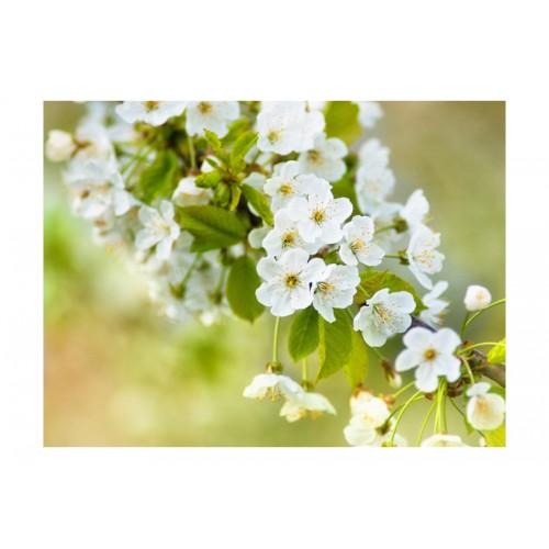 Fotomurale - Delicati fiori di ciliegio - Quadri e decorazioni